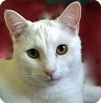 Domestic Shorthair Cat for adoption in Los Angeles, California - Timmy