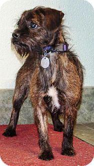 Terrier (Unknown Type, Medium) Mix Dog for adoption in Ada, Oklahoma - LOUIE