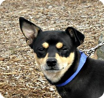 Manchester Terrier/Chihuahua Mix Puppy for adoption in Yreka, California - Peete