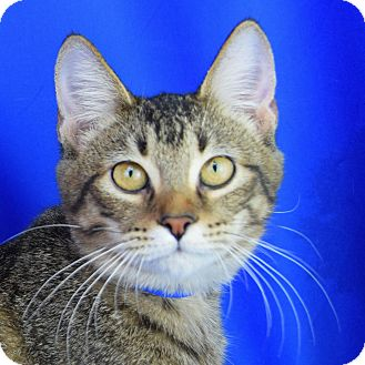 Domestic Shorthair Kitten for adoption in Carencro, Louisiana - Tabitha
