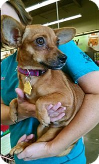 Chihuahua Mix Dog for adoption in Cat Spring, Texas - Calamity Jane aka C.J.