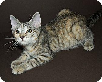 Domestic Shorthair Kitten for adoption in Warren, Michigan - Nilla Sandy