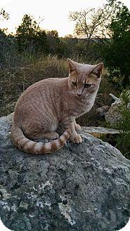Domestic Shorthair Cat for adoption in Fischer, Texas - Honey
