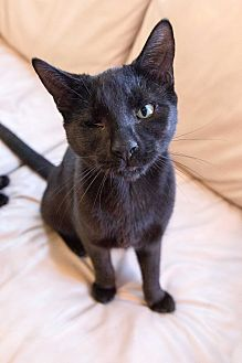 Domestic Shorthair Cat for adoption in Jersey City, New Jersey - Felix