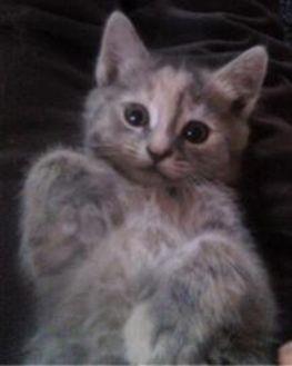 Domestic Mediumhair/Domestic Shorthair Mix Cat for adoption in Oswego, New York - Rosie Grow