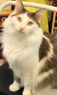 Domestic Longhair/Domestic Shorthair Mix Cat for adoption in Philadelphia, Pennsylvania - Duffy