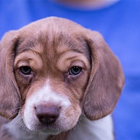 Beagle Mix Puppy for adoption in Fairfax Station, Virginia - Cinnamon Bagel