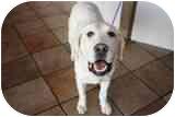 Labrador Retriever Dog for adoption in San Diego, California - LEXIE