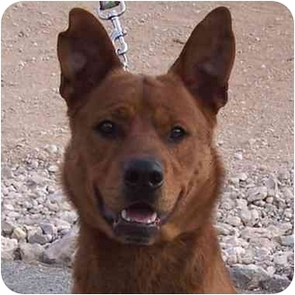 Shepherd (Unknown Type)/Chow Chow Mix Dog for adoption in Las Vegas, Nevada - Alfie