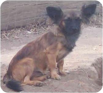 Chihuahua/Spaniel (Unknown Type) Mix Dog for adoption in Sacramento, California - Taps