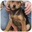 Photo 2 - German Shepherd Dog/Hound (Unknown Type) Mix Puppy for adoption in Brattleboro, Vermont - Joan
