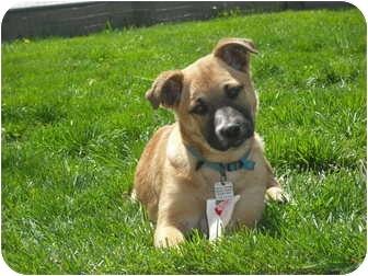 German Shepherd Dog/Labrador Retriever Mix Puppy for adoption in Cincinnati, Ohio - Lacy