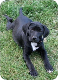 Bluetick Coonhound/Labrador Retriever Mix Puppy for adoption in Colville, Washington - Angie