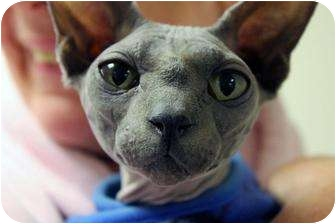 Sphynx Cat for adoption in Farmington, Michigan - Mr. B.