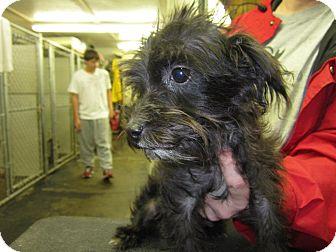 Schnauzer (Miniature)/Poodle (Miniature) Mix Puppy for adoption in Lexington, Kentucky - Rayna
