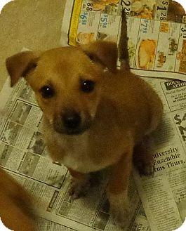 Terrier (Unknown Type, Medium)/Boxer Mix Puppy for adoption in Harrisonburg, Virginia - Frankie