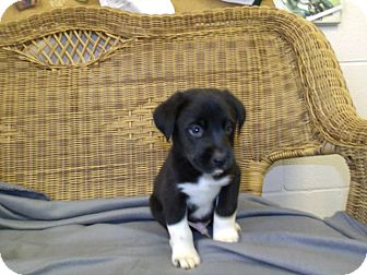 Border Collie Puppy for adoption in Gadsden, Alabama - Stymie