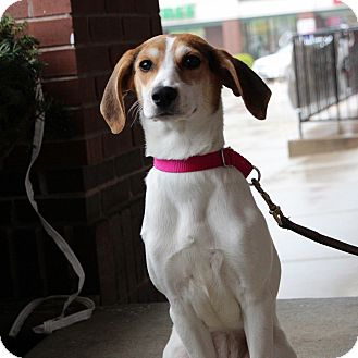 Hound (Unknown Type)/Rat Terrier Mix Dog for adoption in Columbia, Illinois - Zoey