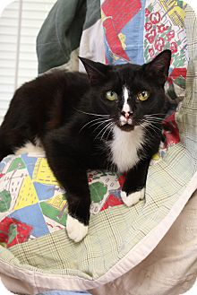Domestic Shorthair Cat for adoption in Huntsville, Alabama - Oliver