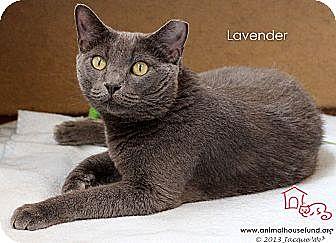 Domestic Shorthair Cat for adoption in St Louis, Missouri - Lavender