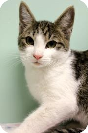 Domestic Shorthair Kitten for adoption in Columbus, Georgia - Itty Bitty 210B