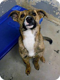 Labrador Retriever/Plott Hound Mix Dog for adoption in Morgantown, West Virginia - Ginger