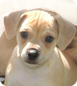 Chihuahua/Beagle Mix Puppy for adoption in La Habra Heights, California - Bruiser