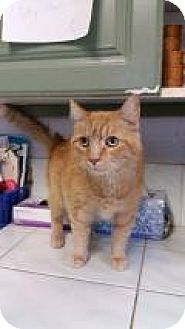 Domestic Shorthair Cat for adoption in Bloomingdale, New Jersey - Sky