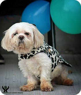 Shih Tzu Mix Dog for adoption in Pierrefonds, Quebec - Jerry