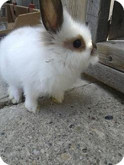 Lionhead Mix for adoption in Edmonton, Alberta - Lucy