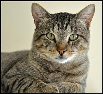American Shorthair Cat for adoption in Alamogordo, New Mexico - Jinx