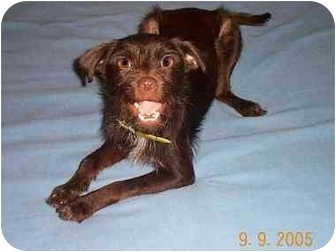 Terrier (Unknown Type, Small)/Border Terrier Mix Puppy for adoption in League City, Texas - Scrappy
