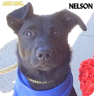 Labrador Retriever Mix Dog for adoption in Lapeer, Michigan - NELSON--AFFECTIONATE PUP!