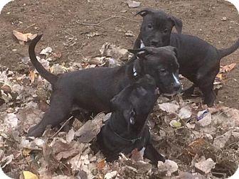Pit Bull Terrier/Labrador Retriever Mix Puppy for adoption in Mt. Clemens, Michigan - Starr, Neeka, & Kessel