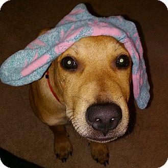 Labrador Retriever/Terrier (Unknown Type, Medium) Mix Puppy for adoption in Phoenix, Arizona - Bentley