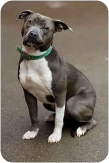 Pit Bull Terrier Dog for adoption in Portland, Oregon - Gina