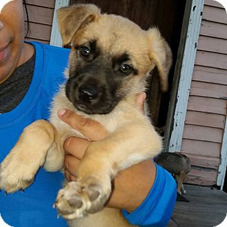 German Shepherd Dog Mix Puppy for adoption in Littleton, Colorado - JEWELL'S PUP DIAMOND