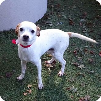 Jack Russell Terrier/Chihuahua Mix Dog for adoption in Surrey, British Columbia - Clyde