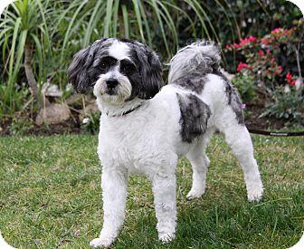 Tibetan Terrier/Poodle (Miniature) Mix Dog for adoption in Newport Beach, California - MARTIN