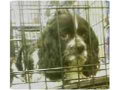 Shih Tzu/Cocker Spaniel Mix Puppy for adoption in Provo, Utah - ROKI