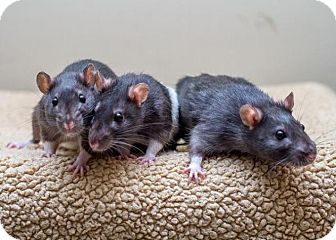 Rat for adoption in Bellingham, Washington - Phoebe, Piper, Paige