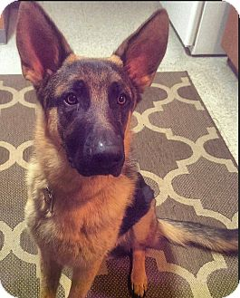 German Shepherd Dog Dog for adoption in Dripping Springs, Texas - Rex