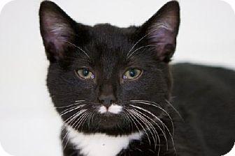 Domestic Shorthair Kitten for adoption in Salem, Massachusetts - Duncan
