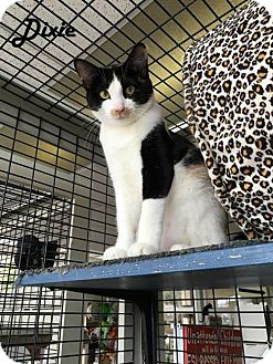 Calico Kitten for adoption in Redwood City, California - Dixie and Daisy