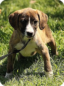 Boxer/Labrador Retriever Mix Puppy for adoption in Windham, New Hampshire - Brooklyn