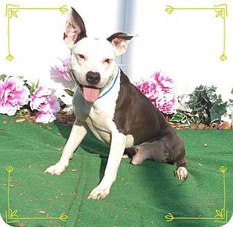 Pit Bull Terrier Mix Dog for adoption in Marietta, Georgia - ROCKO