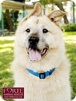 Golden Retriever/Chow Chow Mix Dog for adoption in Marina del Rey, California - Vergil