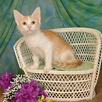 Domestic Shorthair Kitten for adoption in mishawaka, Indiana - Ross