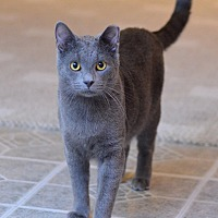 Domestic Shorthair Cat for adoption in St. Louis, Missouri - Remus