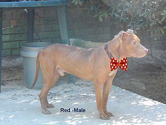 American Pit Bull Terrier/Labrador Retriever Mix Dog for adoption in Pensacola, Florida - Red